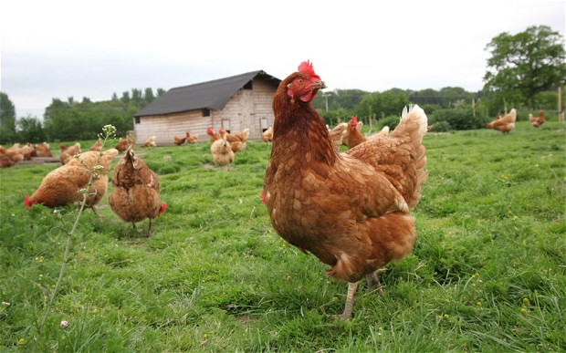 British Free-Range Chicken